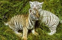 White-Siberian-Tiger-Cubs-(Panthera-tigris-altaica),-Amur-Ussuri-Area,-SE-Siberia