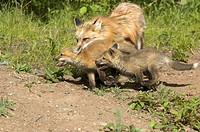 Red-Fox--(Vulpes-vulpes)-playing-w/cubs-captive-Minn.Wildlife-Connection