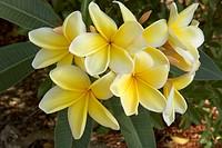 Frangipani-(Apocynaceae-plumeria)-Marco-Island,Fl