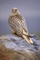 Gyrfalcon-(Falco-rusticolus-obsoletus)/nNorthern-Ontario