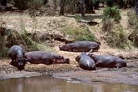 Sunbathing-Hippopotamus-(H.-amphibius),-Mara-Game-Reserve,-Kenya