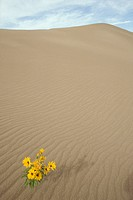 Wildflower-on-sand-dune---Great-Sand-Dunes-NM,-CO