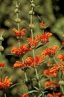 Lion´s-Tail-(Leonotis-leonurus)-Huntington-Gardens-(herb-garden)-San-Marino,-CA