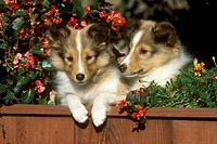 Shetland-Sheepdog-Puppies/nwith-flowers