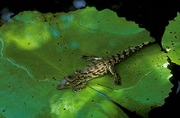 Nile-Crocodile-Hatchling-on-Water-Lily-(Crocodylus-niloticus),-St.-Lucia,-Natal,-RSA