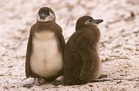 Jackass-Penguin,-aka-Black--footed-(Spheniscus-demersus)-2-chicks,-S.-Africa,-Simon´s-Town