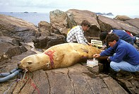Injured-Steller-Sea-Lion-and-Scientists-(Eumotopias-jubatus),-AK