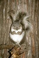 Abert´s-Squirrel/n(Sciurus-aberti)--/nBandelier-NP/New-Mexico