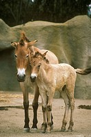 Przewalski´s-Horse-w/-young/n(Equus-caballus-przewalskii)/nSan-Diego-Zoo
