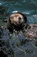 Sea-Otter-rubbing-Head,-Inside-Passage,-AK