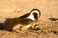 Jackass-Penguin-with-Chick,-Boulders-Beach,-Cape-Town,-S.-Africa