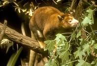 Matschie´s-Tree-Kangaroo-(Dendrolagus-matschiei),-Central-&-E.-New-Guinea