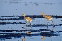 Sandhill-Crane-Chicks-(Grus-canadensis)-Myakka-River-St.-Park---FL