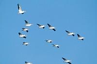 American-White-Pelicans/n(Pelecanus-erythrorhynchos)/nin-flight---Texas