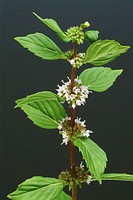 Peppermint (Mentha piperita). This herb is used in herbal medicine to treat flatulence and to aid digestion.