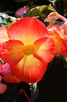Begonia flower (Begonia tuberosa ´Non Stop Gold Orange´).