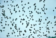 Starlings-migrating-flock/n(Sturnus-vulgaris)-Parker-River-NWR,-Plum-Island,-MA
