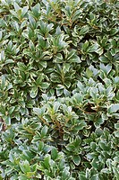 False-holly foliage (Osmanthus heterophyllus ´Variegatus´).