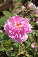 Rose (Rosa ´Des Quatres Saisons´) flower.