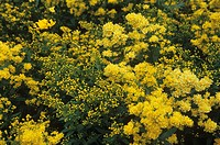 Goldenrod flowers (Solidago ´Cloth of Gold´).