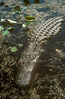 American-Alligator-(Alligator-mississippiensis)-Okefenokee-Wildlife-Refuge