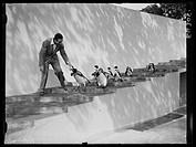 Walt Disney walks down the encloure steps with the penguins.