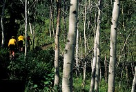 Three mountain bikers riding through forest, Rear view