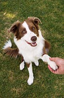 Man holding paw of border collie, elevated view