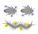 Arthropod locomotion. Artwork of a cockroach (top) and centipede (bottom) walking. Multi-legged animals walk with an alternating tripod gait. In cockr...