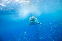 Great white shark (Carcharodon carcharias). This is the largest predatory shark in the world, reaching over six metres in length. It feeds on fish, tu...