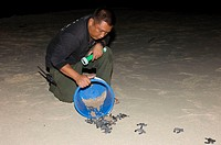Ranger releasing green turtle hatchlings (Chelonia mydas) on to a beach. These turtles were hatched in a protected hatchery. Turtles are wholly aquati...