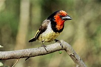 Black collared barbet (Lybius torquatus) perching on a branch. Photographed in Addo Elephant Park in South Africa.