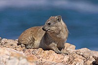 Rock Dassie, Procavia capensis, South Africa, adult on rock
