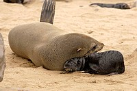 Cape Fur Seal, Arctocephalus pusillus, Cape Cross, Namibia , Africa, adult with pup