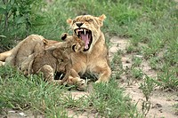 Lion, Panthera leo, Sabie Sand Game Reserve, South Africa , Africa, adult female jawning with cubs