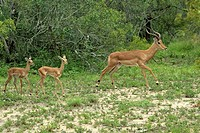 Impala, Aepyceros melampus, Kruger National Park, South Africa , Africa, adult male jumping with youngs