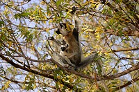 Verreaux`s Sifaka, Propithecus verreauxi coronatus, Berenty Game Reserve, Madagascar, adult female with baby on tree