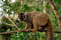 Common Brown Lemur, Eulemur fulvus fulvus, Madagascar, adult female on tree