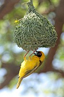 Masked Weaver, Ploceus velatus, Madikwe National Park, South Africa , Africa, adult male on nest courtship
