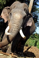 Elephant with a damaged tusk