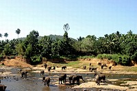 Elephants drinking water from the river
