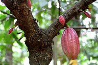 Cocoa pods hanging on the cocoa tree