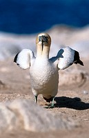 Cape gannet (Sula capensis). Bird Island, Lamberts Bay. South Africa
