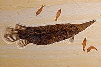 Fossil Gar (Labracodes simplex) with Knightia (smaller fish) - Green River formation - Fossil Lake - Thompsen Ranch - Lincoln County - Wyoming