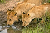 A young male and female lion drink from a stream. Serengeti National Park, Tanzania