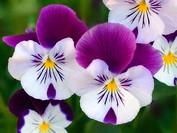 Pansy Flowers. Viola x wittrockiana. Maryland, USA