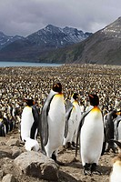 King Penguin (Aptenodytes patagonicus) colony on South Georgia Island, southern Atlantic Ocean