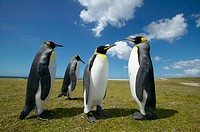 King Penguin (Aptenodytes patagonica). Falkland Islands