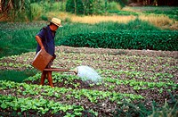 Vegetable farming, Klang, Selangor, Malaysia