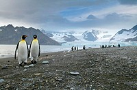 King Penguin (Aptenodytes patagonicus) Royal Bay with Weddel glacier in the background South Georgia. UK